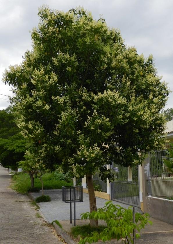 Figura 1 - Meu querido ligustro, em plena floração.
