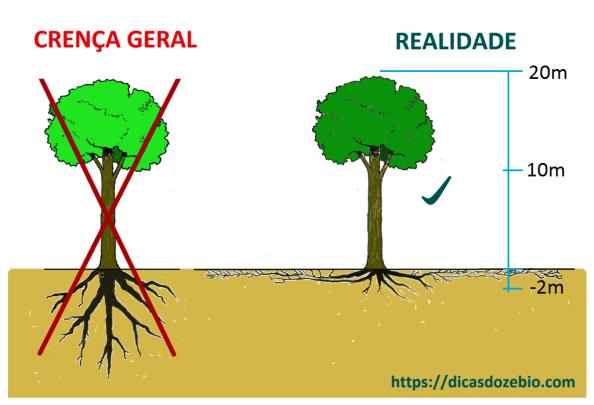 Fig. 21 - À esquerda, forma tradicionalmente aceita (E INCORRETA!) da distribuição das raízes e à direita, o verdadeiro sistema radicular das árvores, muito mais espalhado e frágil do que se crê.