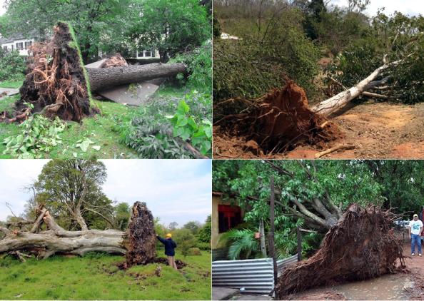 Fig. 22 - 4 árvores tombadas por temporais, que mostram a pequena profundidade das raízes.