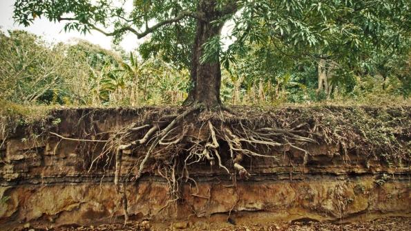 Fig. 24 – Terreno erodido, onde ficam visíveis as (finas) raízes das árvores, sempre superficiais. Fonte: The Tree Center [3].