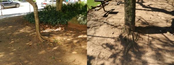Fig 27 - Árvores com raízes pisoteadas frequentemente, em duas praças de Porto Alegre/RS. São plantas fracas e doentes, que não conseguirão atingir o seu porte normal. Também ficam mais sujeitas a cair, durante os temporais.
