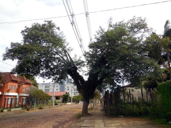 Fig. 3 - Tipuana dividida ao meio, devido aos fios de alta-tensão, foto tirada em Santa Cruz do Sul/RS, em 2018.