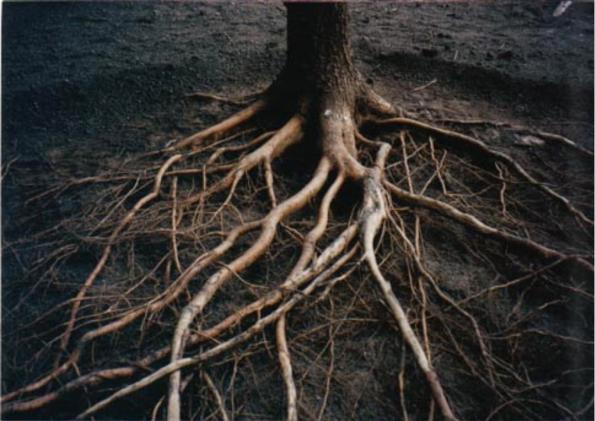 Fig. 45 – Raízes expostas por escavação pneumática, percebe-se que são bastante superficiais, e grossas somente junto do tronco. Fonte: Research Gate [38].
