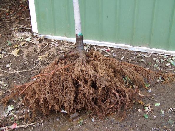 Fig. 47 – Muda com raiz nua, pronta para o plantio. Observe que as raízes estão úmidas. Fonte: Schichtel's Nursery [41].