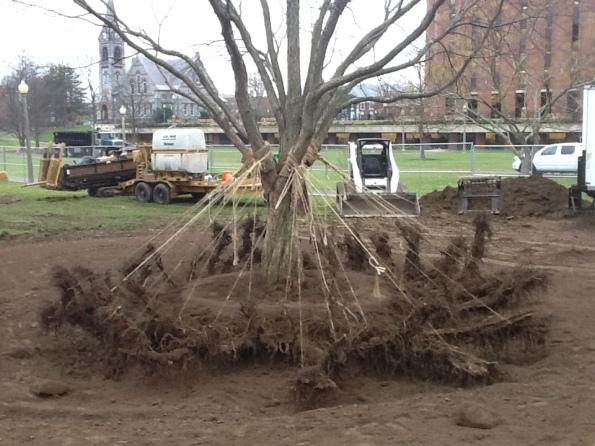 Fig. 50 – Amarração das raízes da katsura, para dar maior rigidez à árvore e evitar danos às raízes. Fonte: Taking Place In The Trees [42].