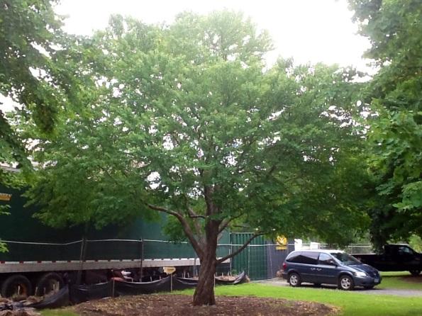 Fig. 52 – Quatro meses depois, em julho de 2013, no verão do hemisfério norte, a katsura já estava com a copa coberta de folhas, um excelente trabalho de transplante. Fonte: Taking Place In The Trees [43].