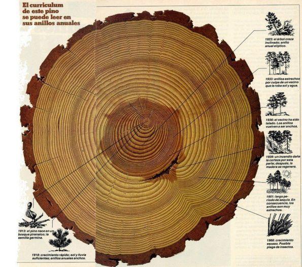 """Fig. 59 - Anéis do tronco de um pinheiro, que mostram o """"currículo"""" da planta. Fonte: Universo de la Maga [67]."""