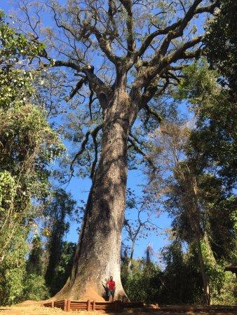 Fig. 62 – Jequitibá-rosa Patriarca. Observe a pessoa ao pé da árvore. Fonte: Áreas Verdes das Cidades [77].