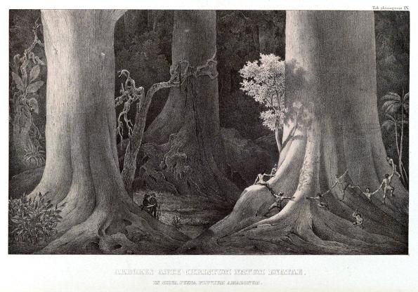 Fig. 66 – Ilustração de Von Martius, do livro Flora Brasiliensis, um dos resultados da expedição que fez ao Brasil entre 1817-1820. Fonte: Revista História Ciências Saúde [82].