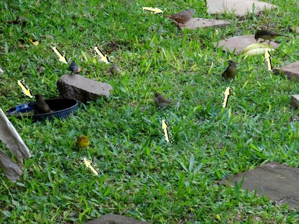 Fig. 69 - 8 pássaros, aguardando sua vez para tomar banho ou comer restos de frutas espalhadas pelo chão. São 5 espécies diferentes, ajudando-se mutuamente (o alerta de um deles faz com que todos levantem voo).