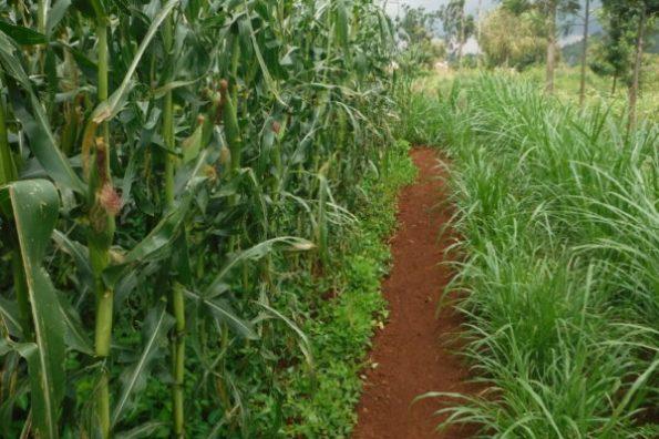 Fig. 70 - Plantação de milho no Quênia, sem o uso de qualquer agroquímico, mais informações no texto. Fonte: ASN – André Sarria [103].