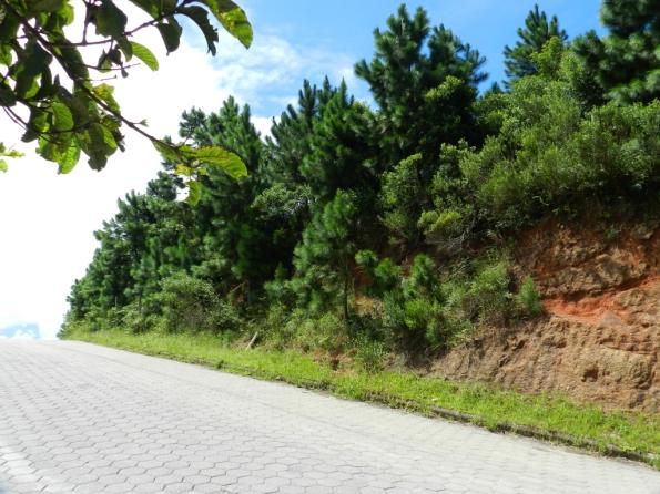 Fig. 80 - Pinus elliotti crescendo livremente na região de Garopaba, praia de Santa Catarina. Observe os brotos mais novos, à direita, junto do meio-fio, em trecho recentemente escavado.