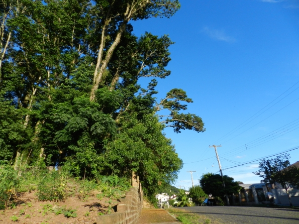 Fig. 81 - Árvores nativas remanescentes de um lote, altas demais, cujos galhos estão crescendo para fora do terreno, em busca de sol.